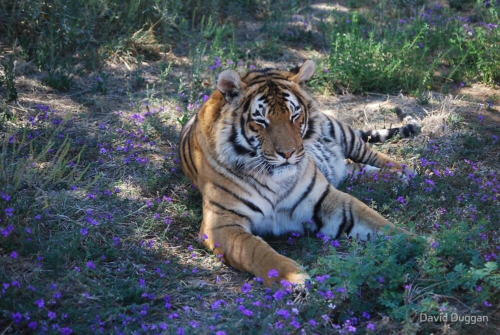 Tiger resting with bluebells by David Duggan