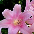 Pink Lady Slippers by Jennifer  Gaillard