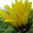 A Sunflower Peeks Through the Rain by Jennifer  Gaillard