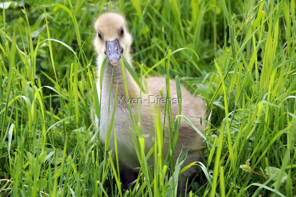 A gray goose chick  by Yven-Dienst