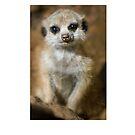 Meerkat by Fjfichman