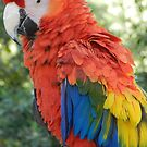 Macaw by Fjfichman