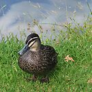 Pacific Black Duck by HG. QualityPhotography