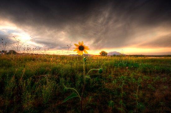 Sunflower Sunset by Bob Larson