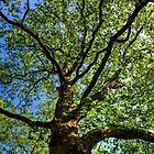 Royal Tree by John Velocci