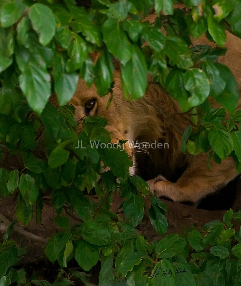 A Lion's Watchful Eye by JL Woody Wooden