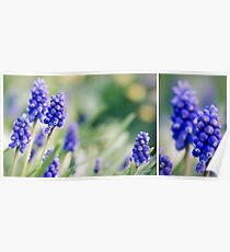 Muscari diptych Poster
