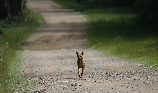 Trail Riding Dog  by Vikki Shedden Photography