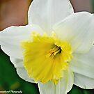 Cream and Sunshine by hammye01