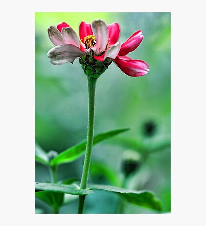 A Red Potted Zinnia - Bridgton,  Maine Photographic Print