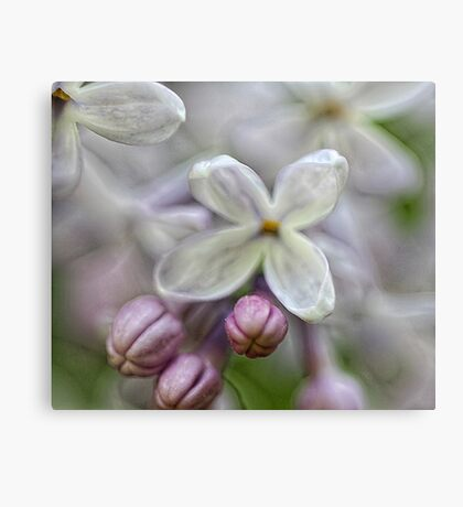 Miss Kim Lilac Flower - Bridgton,  Maine Canvas Print