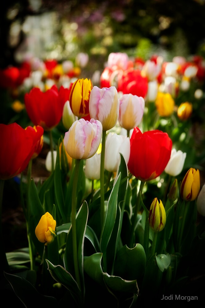 From the tulip patch by Jodi Morgan