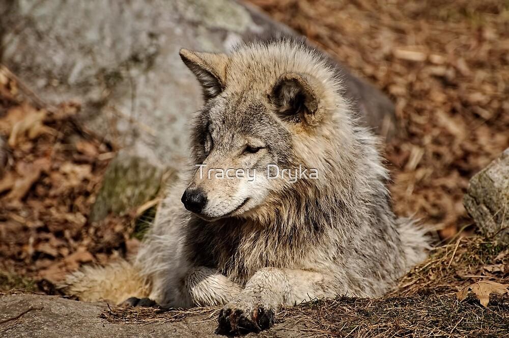 Timberwolf by Tracey  Dryka