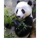 Panda by Fjfichman
