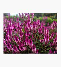 Purple celosia flowers Photographic Print