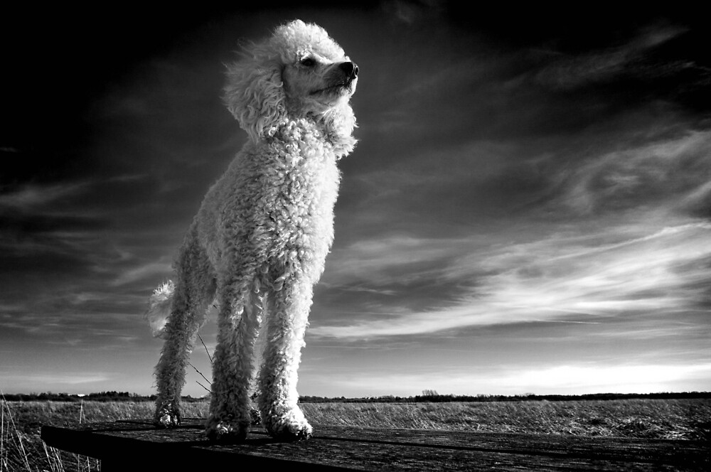 Poodle by Fjfichman