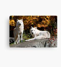 Arctic wolves - Parc Omega, Montebello, PQ Canvas Print