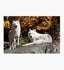 Arctic wolves - Parc Omega, Montebello, PQ Photographic Print