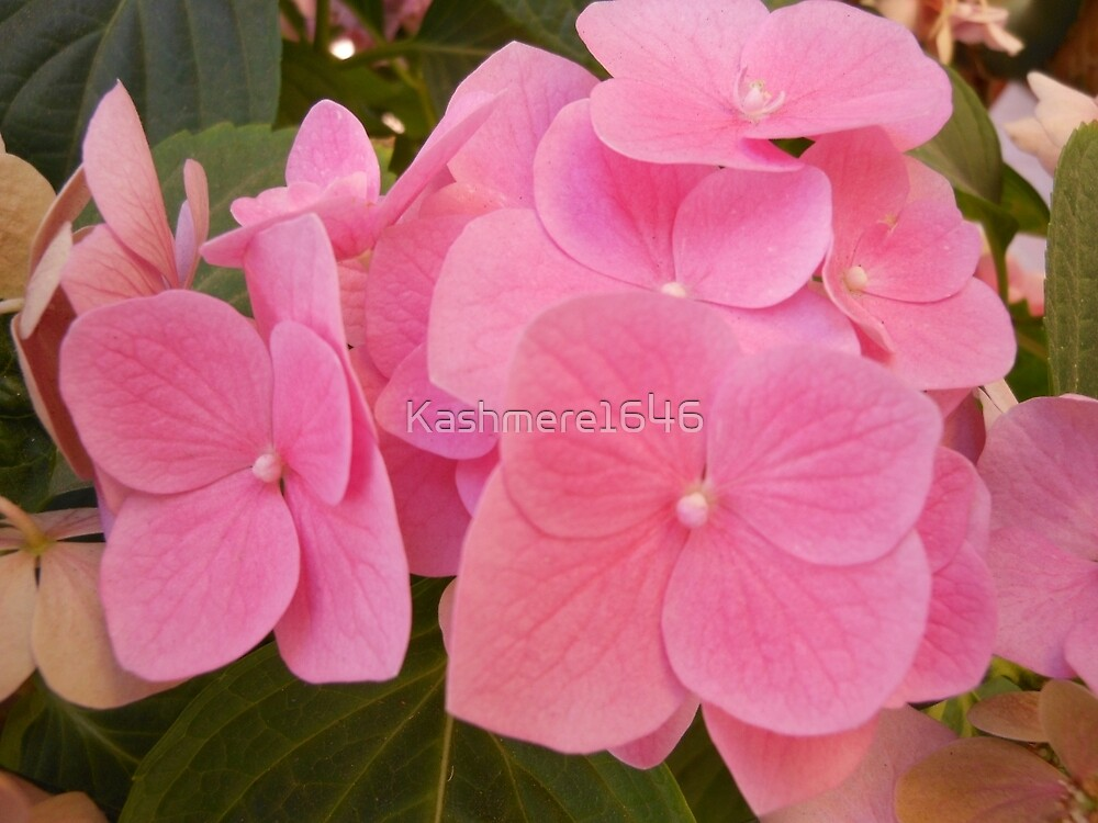 Pink Hydrengea Cluster by Kashmere1646