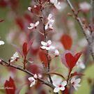 Purple-leaf Plum Blossoms  by zpawpaw