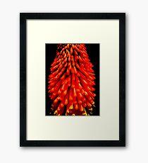 Red Hot Poker Insight Framed Print