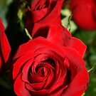 As Red As The Rose Can Get by Dana Yoachum