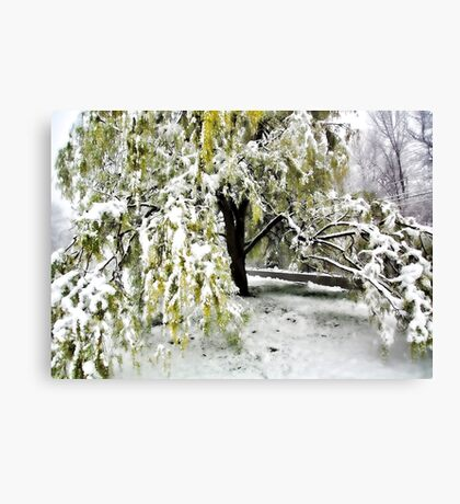 Old Tree and Heavy Wet Snow -- Bridgton,  Maine Canvas Print