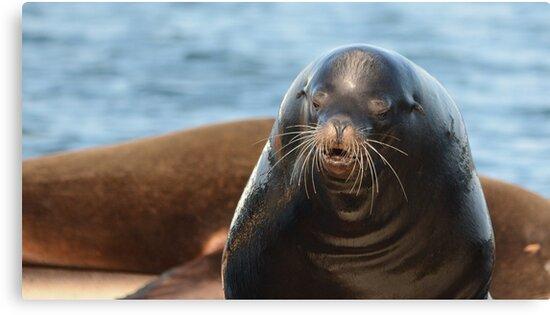 California Sea Lion by NAmelotte