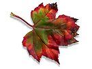 Maple Leaf by Stephen D. Miller
