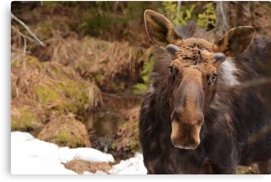 Spring Bull Moose by NAmelotte