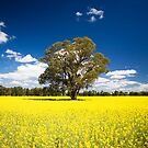 The Lonely Tree in a Sea of Canola by Richard  Windeyer
