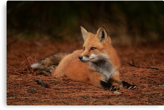 Red Fox by NAmelotte