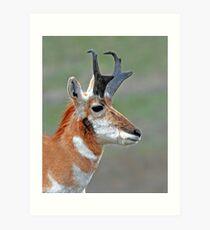 pronghorn buck Art Print