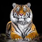 Tiger Trance by Shannon Rogers