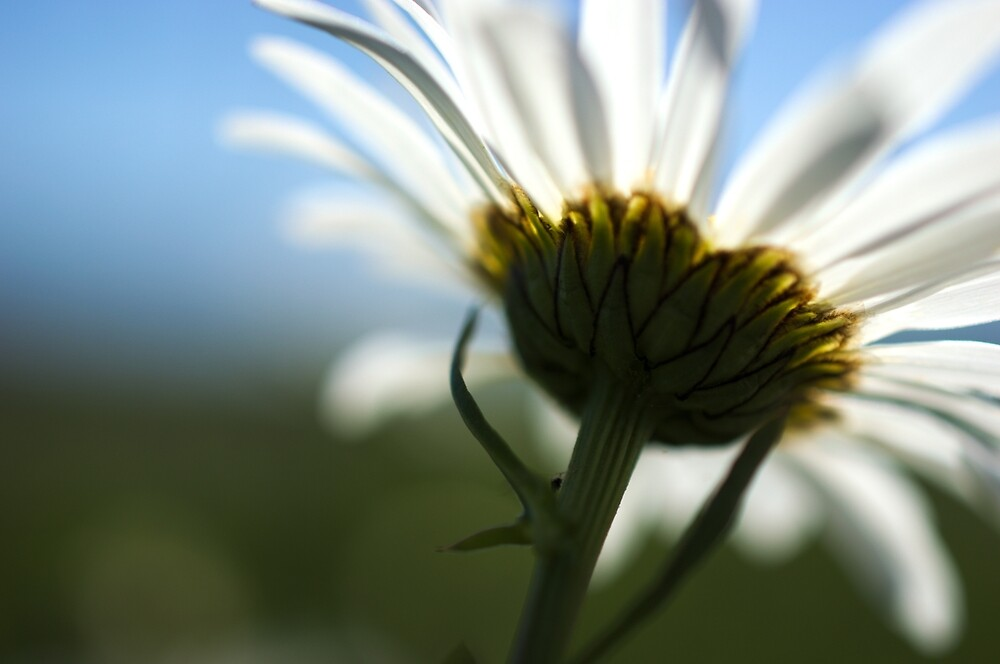 Daisy in the sun by hannahduston