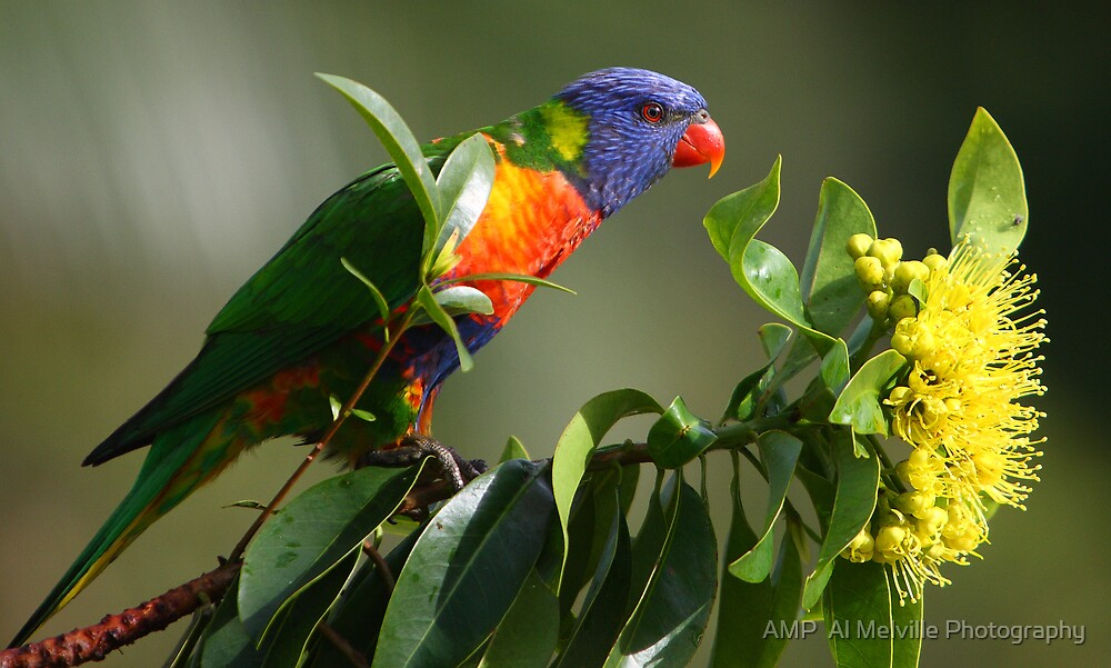 Rainbow Lorikeet in Golden Penda Tree 02 - Sunshine Coast - Queensland - Australia by AMP  Al Melville Photography