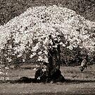Under The Ol' Blossom Tree by Stephanie Hillson
