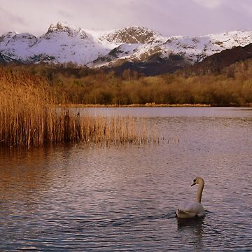 Lake District: Swan on Elter Water by rob3003