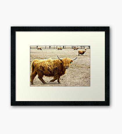 Highland Cattle #1 Framed Print
