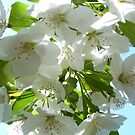 Apple Blossoms in NJ by Monica Engeler