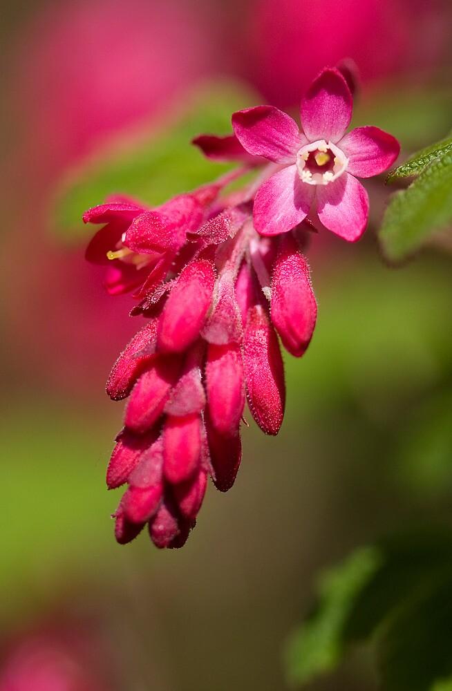 Pinks by Carole Stevens