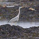 Grey Heron by brianboyce50