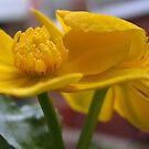 Marsh Marigold by hjaynefoster