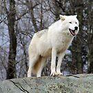 Arktischer Wolf beobachten von vette