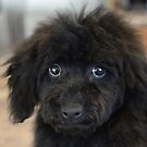 Sky, An Arizona Mini-Toy Poodle by Fjfichman