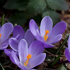 Purple Spring by BCasTal