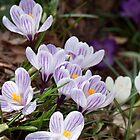 Spring Stripes by BCasTal