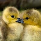 Baby Duck Love by Fjfichman