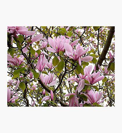 Magnolia (Tulip Tree) Photographic Print