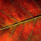 Autumn Leaf by Ian Sanders